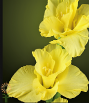 Gladiolus-yellow