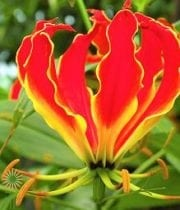 Red Gloriosa Lily, Short