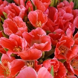 wholesale flowers | godetia coral
