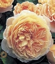 Rose, Garden-Golden Celebration-yellow