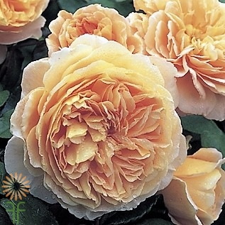 wholesale flowers | garden spray rose celebration
