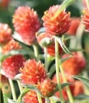 Gomphrena-orange