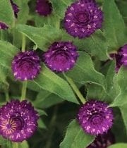 Purple Gomphrena