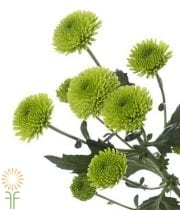 Green Button Spray Mums
