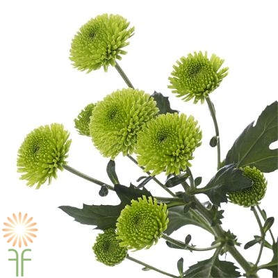 wholesale flowers | spray mums- button green