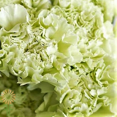 wholesale carnation green
