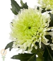 Mums, Spray-Cushion-green