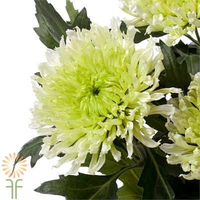 wholesale flowers | spray mums- cushion green