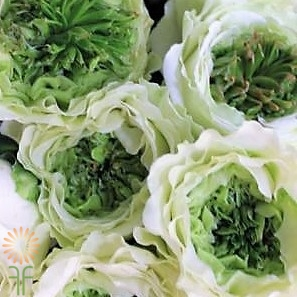 wholesale flowers | garden rose green eye