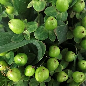 wholesale flowers | Hypericum -green