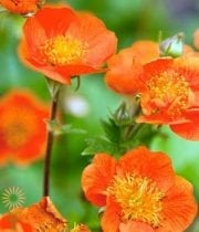 Geum Mango-orange