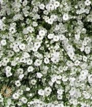 White Million Star Gypsophila (Baby's Breath)