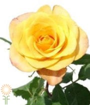 Yellow Gypsy Curiosa Roses