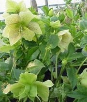 Antique Helleborus