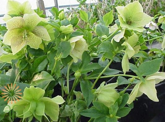 wholesale helleborous green white