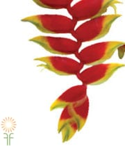 Red Deluxe Hanging Heliconia