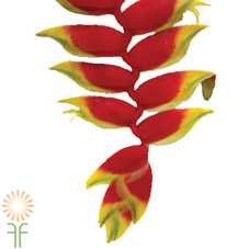 heliconia-hanging-red