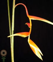 Heliconia, Hanging-Sexy Orange