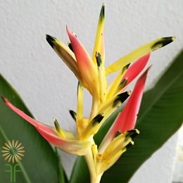 wholesale heliconia- parakeet yellow