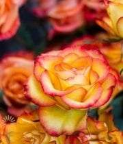 Yellow And Orange High&Intense Roses