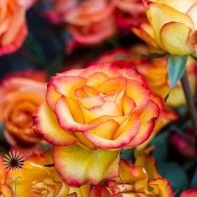 wholesale flowers | rose high intense
