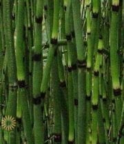 Horsetail, Giant