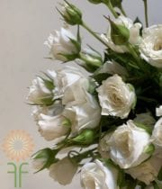 White Wendy Spray Roses,