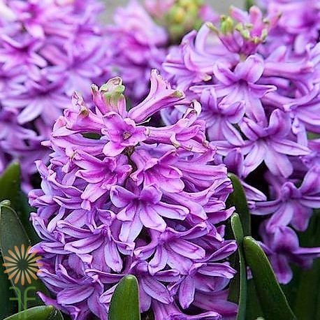 wholesale hyacinth-lavender