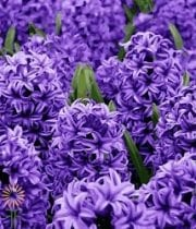 Wholesale Hyacinth-purple