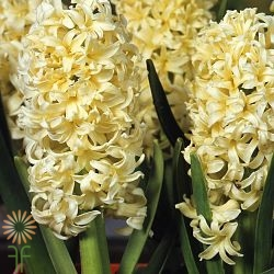 wholesale hyacinth-yellow