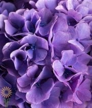 Looking For Pretty Purple Hydrangea For Weddings,parties