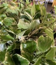 Variegated Bush Ivy