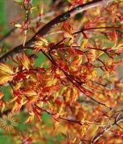 Wholesale Japanese Maple