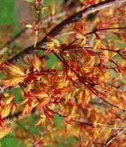 Branch, Japanese Maple