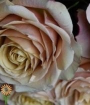 Rose, Garden-Coco Loco-antique Pink/beige