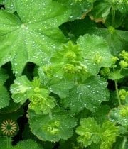 Ladies Mantle (Alchemilla Mollis)