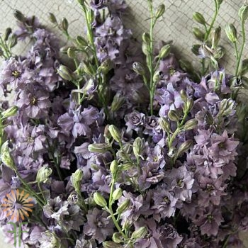 wholesale flowers | larkspur- lavender