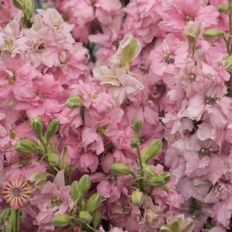 wholesale flowers | larkspur- pink