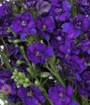 Purple Larkspur