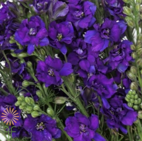 wholesale flowers | larkspur- purple