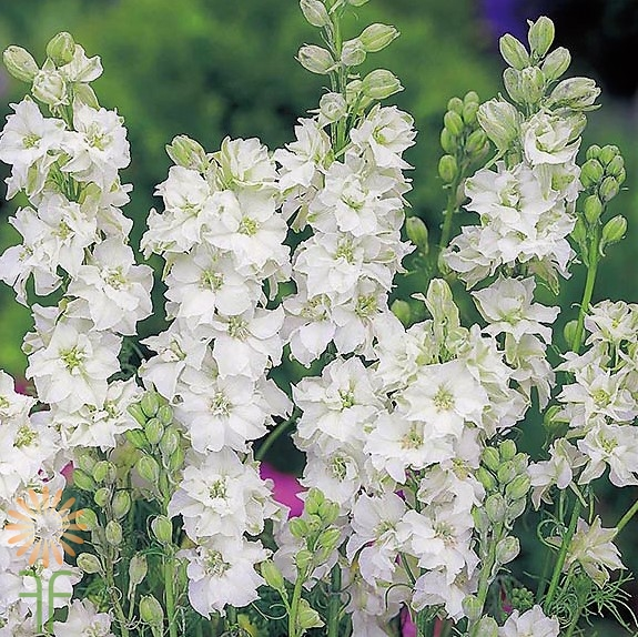 wholesale flowers | larkspur- white
