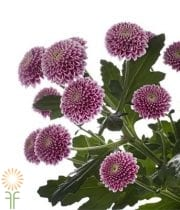 Lavender Button Spray Mums