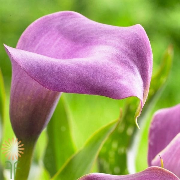 wholesale flowers calla lavender