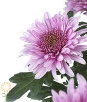 Lavender Cushion Spray Mums