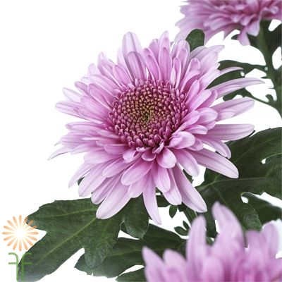 wholesale flowers | spray mums- cushion lavender