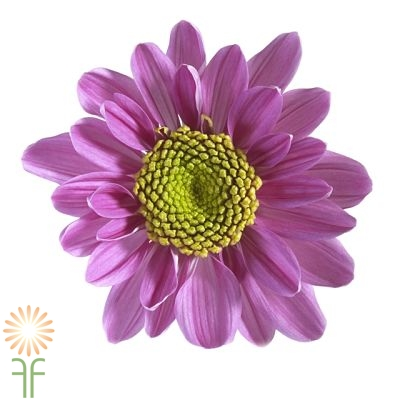wholesale flowers | spray mums daisy lav