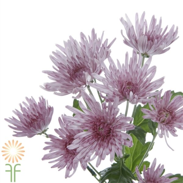 wholesale flowers | mums- spider lavender