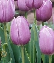Lavender Greenhouse Tulips