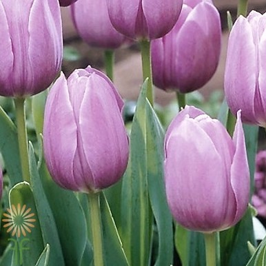 wholesale flowers | tulips greenhouse lavender