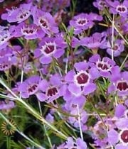 Waxflower-lavender